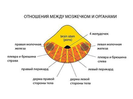 Мозжечёк