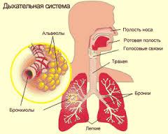 Дыхательная система4